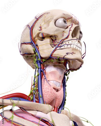 medyczna-dokladna-ilustracja-anatomii-glowy