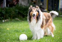 Rough Collie Dog On Lawn