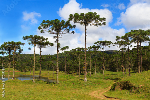 Araucaria angustifolia ( Brazilian pine),  Brazil Wallpaper Mural