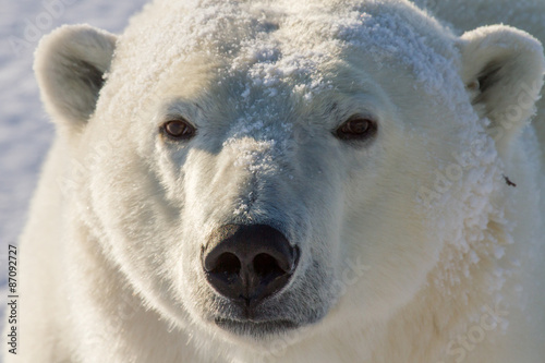 polar bear golden portrait