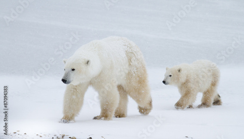 Valokuva  Polar bear mom and cub walking on the ice