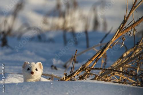 Weasel pops head through snow Fototapet