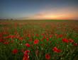 Zachód słońca nad makową łąką