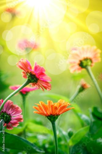 Poster Jaune Zinnia Flowers