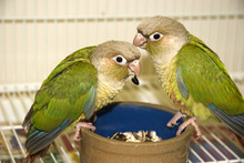 Cinnamon Green Cheek Conures E...