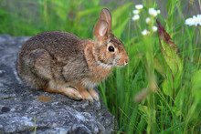 Cottontail Rabbit Sitting On R...