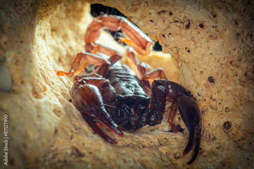 Scorpion siting into cave. Russian nature