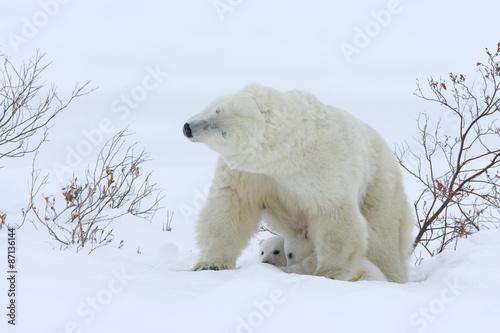 In de dag Ijsbeer Eisbaerin mit Jungtieren