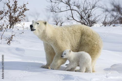 In de dag Ijsbeer Eisbaerin mit Jungen