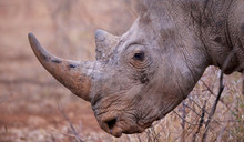 Large Rhino Side Profile Of Horn
