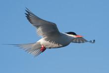 Arctic Tern In Flight