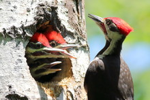 Pileated Woodpecker Feeding His Young