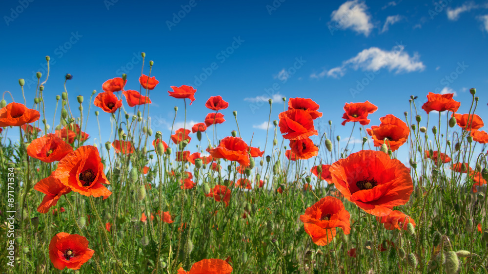 poppy flowers on the field.