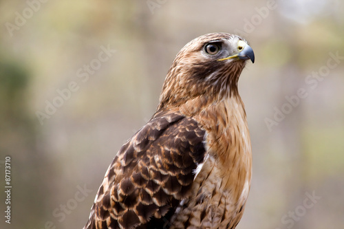 Photo  Red Tailed Hawk
