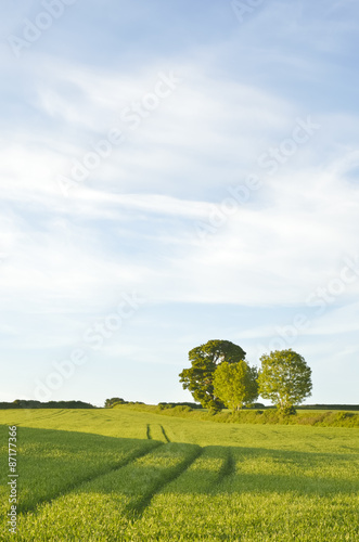 Tracks in field of wheat and trees on the horizon. Canvas Print