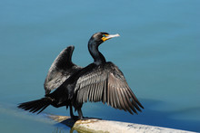 Double-crested Cormorant Sprea...