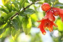 The Pomegranate Flower In My Garden.