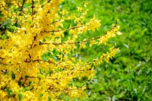 Yellow Flowers Of Forsythia On Spring, April
