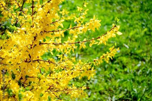 Cuadros en Lienzo Yellow flowers of forsythia on spring, april