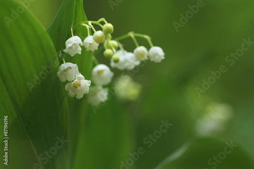 In de dag Lelietje van dalen Lily of the Valley (Convallaria majalis) in a wood