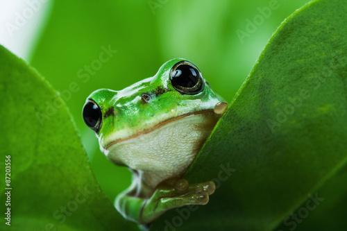 Foto op Aluminium Kikker Cute little green frog peeking out from behind the leaves