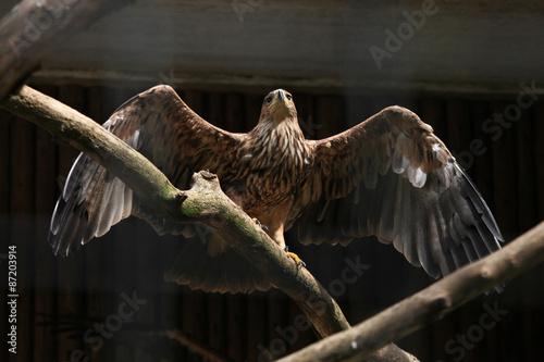 In de dag Eagle Eastern imperial eagle (Aquila heliaca).