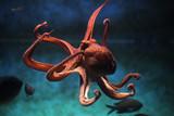 Fototapeta Zwierzęta - Common octopus (Octopus vulgaris).