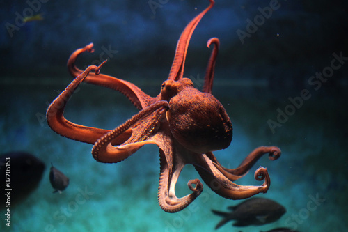 Common octopus (Octopus vulgaris). Wallpaper Mural