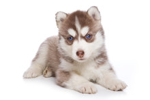 Husky Puppy Lying And Looking At The Camera (isolated On White)