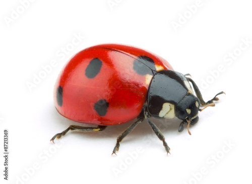 Photo  Ladybug isolate on white background
