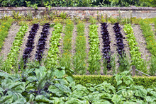 Young Green, Purple Lettuce And Marigold Flowers, Growing On A Vegetable Patch