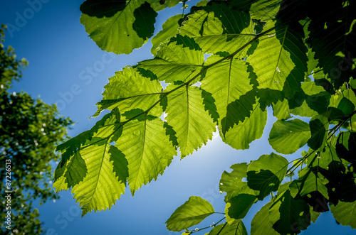 Alder branch with leaves Canvas Print