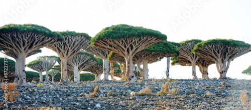 Papiers peints Arbre Dragon trees (Dracaena cinnabari) in Socotra island, Yemen
