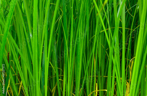 Fotomural Background good forest green sedge