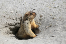 Cute Marmot Peeking Out Of A B...