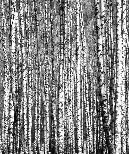 Naklejki na meble Wiosenne brzozy czarno-białe
