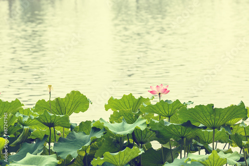 Photo Stands Lily of the valley summer,Hangzhou west lake lotus flowers blooming, in China