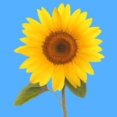 Panel Szklanysunflower flower