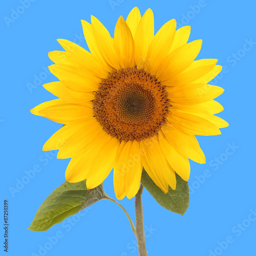 sunflower flower - 87250399