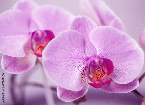 storczyk orchidea makro - 87262350