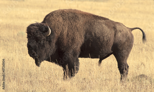 Foto op Canvas Bison Big Bison in the grassland