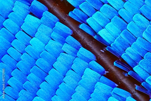 Valokuva  Extreme 10x magnification of Morpho Rhetenor Cacica butterfly wing