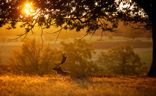 A Fallow Deer Buck Silhouetted Against A Golden Morning