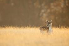 Little One, A Fallow Deer Doe In Long Golden Grass
