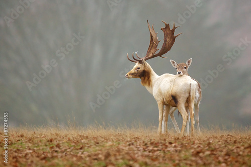 Fallow love, a doe rests her head on the back of a fallow deer buck