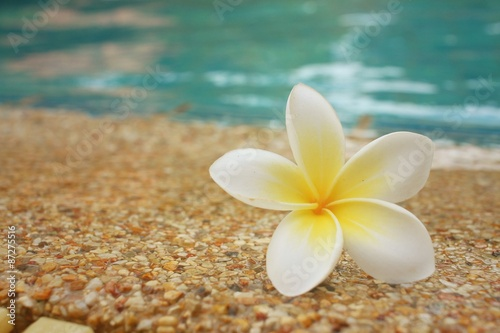 Wall Murals Plumeria plumeria flower and blue swimming pool rippled water detail