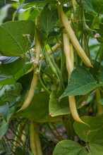 Fresh Yellow Beans On A Plant