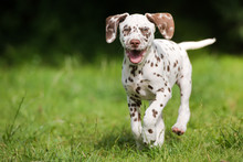 Happy Dalmatian Puppy Running Outdoors In Summer