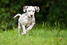 Happy Brown Dalmatian Puppy Running Outdoors