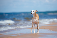Red Whippet Dog Standing On Th...